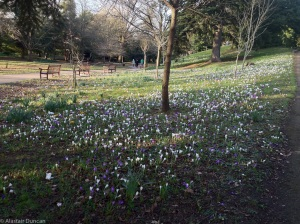 Roath Park Crocuses