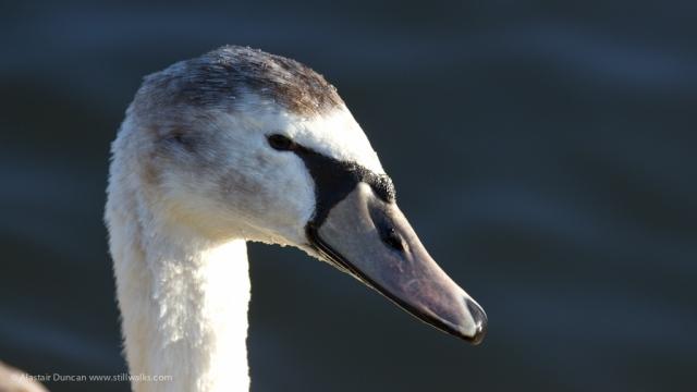 Hemlington Swan