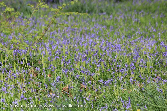 Bluebells at Coedbach
