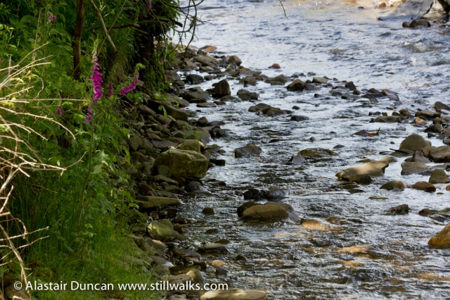 Dulais River and Foxgloves