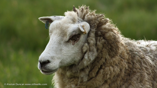 Marsh Sheep