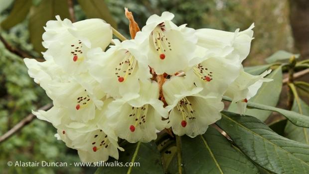 Rhodadendron / Azalea