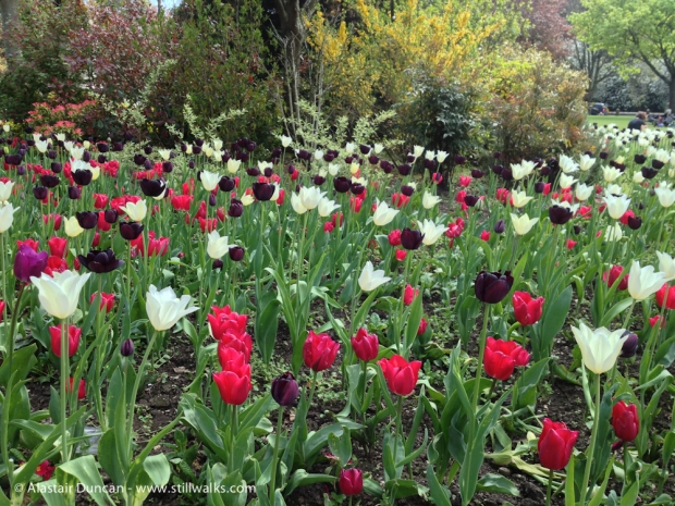 Tulips in Cardiff