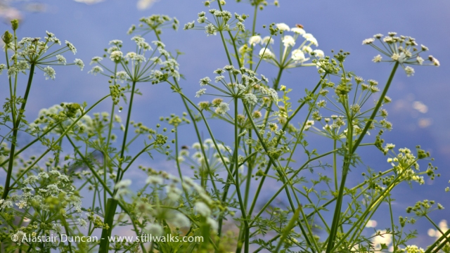 Lakeside Cow Parsley