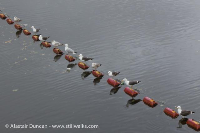 Swansea Seagulls