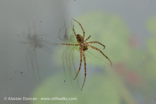 Garden Spider-1