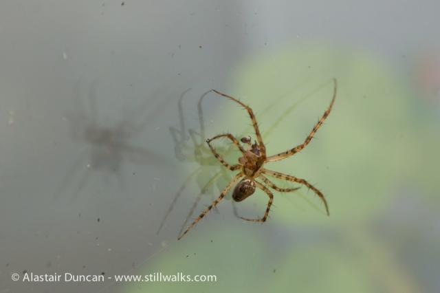 Garden Spider-2