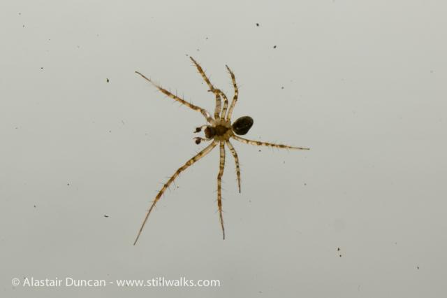 Garden Spider-3