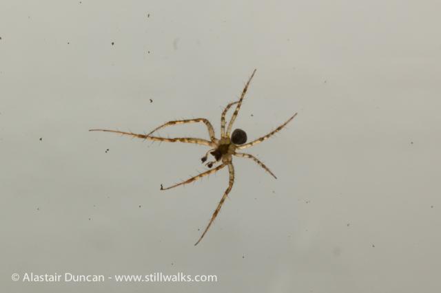Garden Spider-4