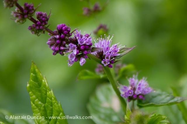 Garden Flowers-Mint