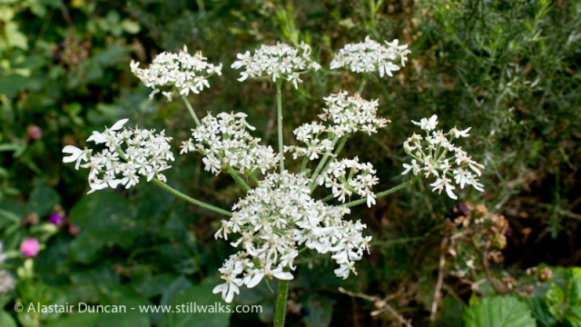 Old Railway Walk-Cow Parsley