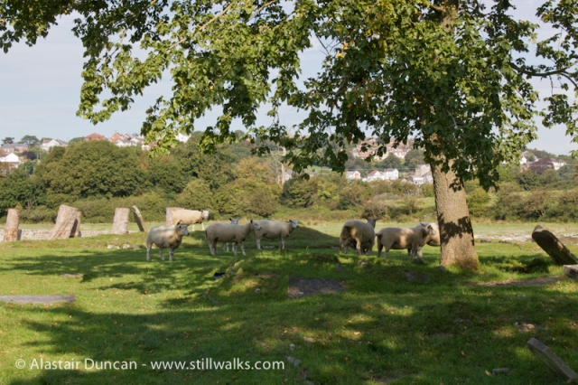 Sheep in Churchyard