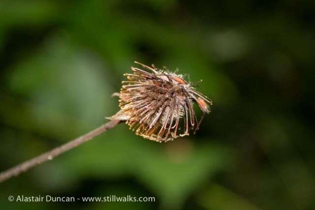 Damp Seed Head