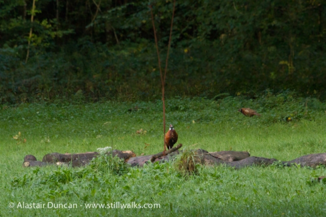Cwm Green Pheasant