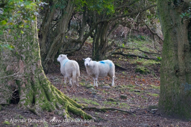 Two sheep on Graig Fawr