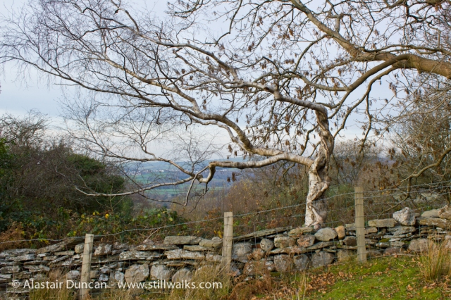 Birch tree on Graig Fawr