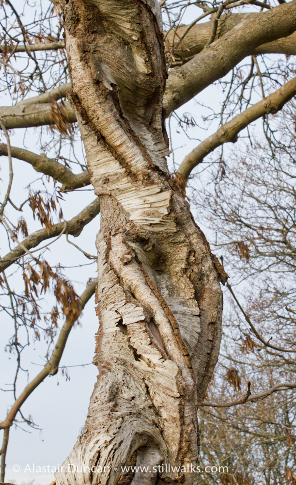 Twisted Birch tree trunk
