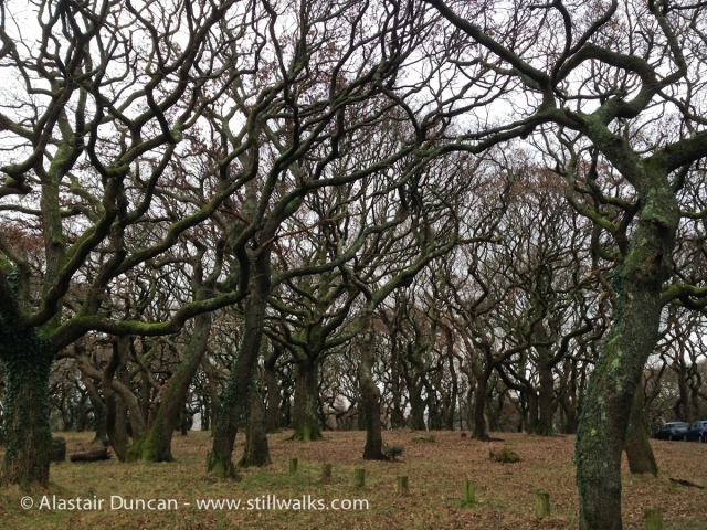 Twisted Oak Trees