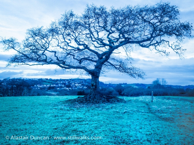 Wind blown tree - blue