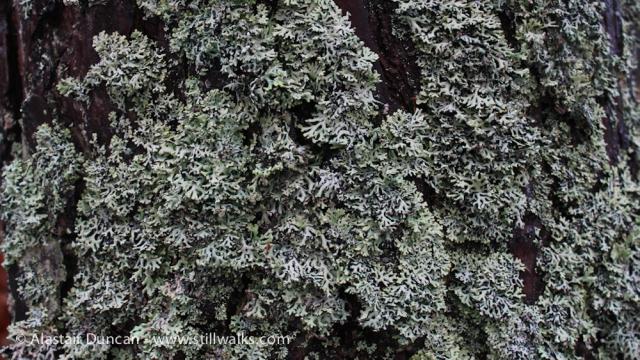 Forres Lichen