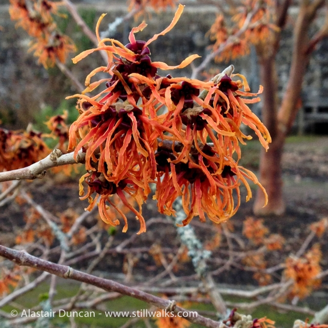 Witch Hazel at NBGW