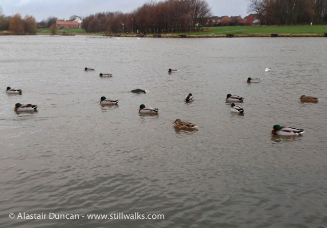 Ducks on Hemlington Lake
