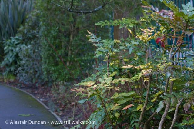 Mahonia in Brynmill Park