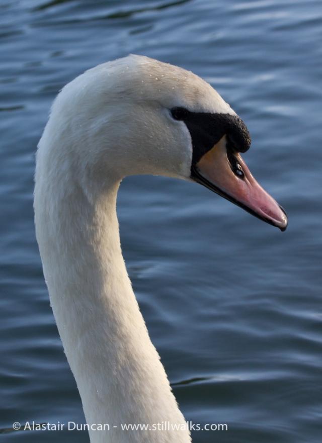 Swan in Brynmill Park