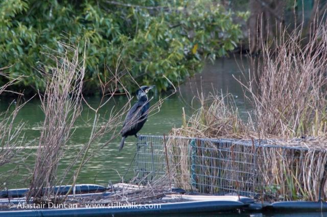 Cormorant in Brynmill Park