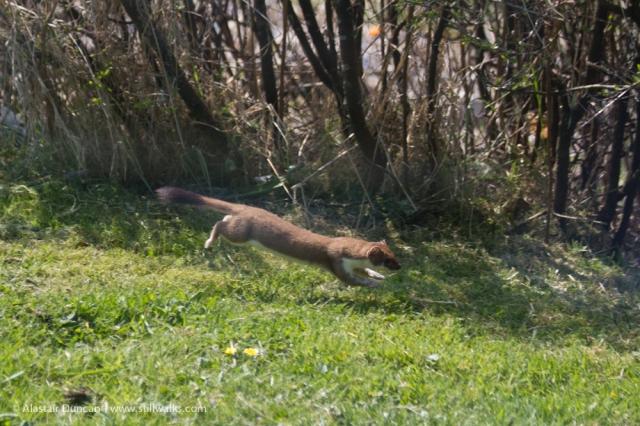 Running Weasel