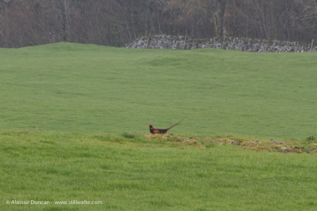 pheasant in a field