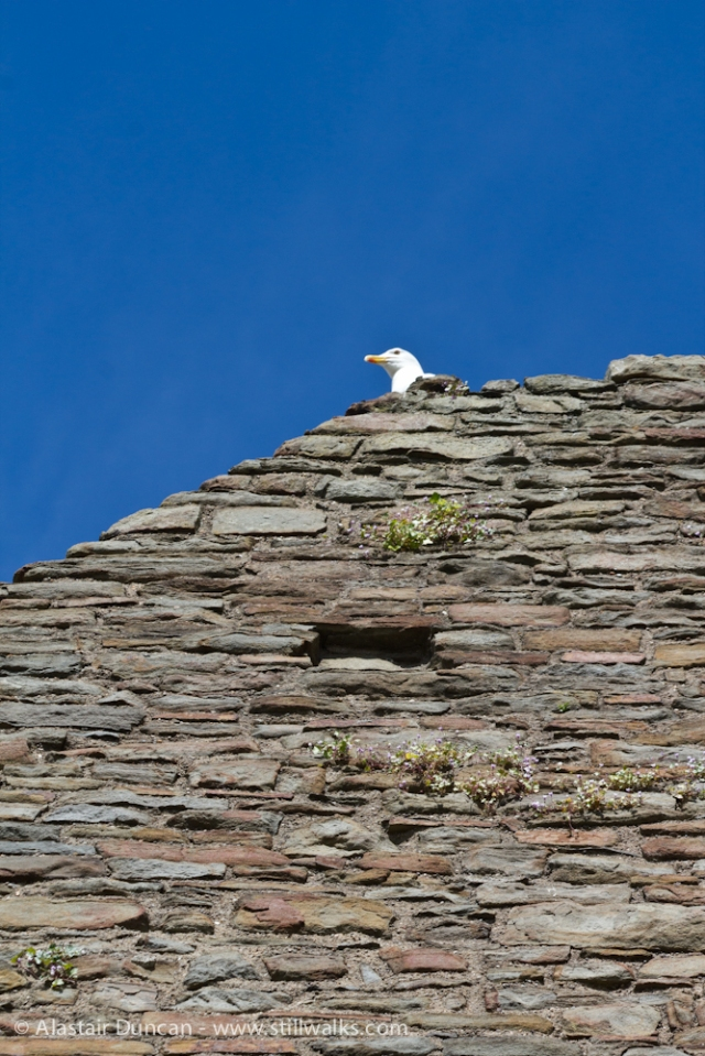 Castle wall and seagull