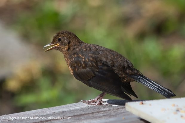 Teenage Blackbird