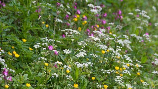 Cwm Nash Wildflowers
