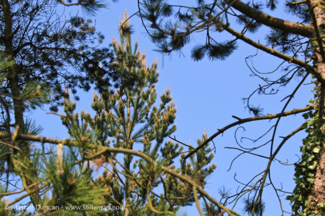Pembrey Pine
