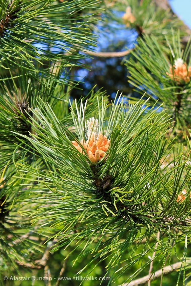 Pembrey Pine Flower