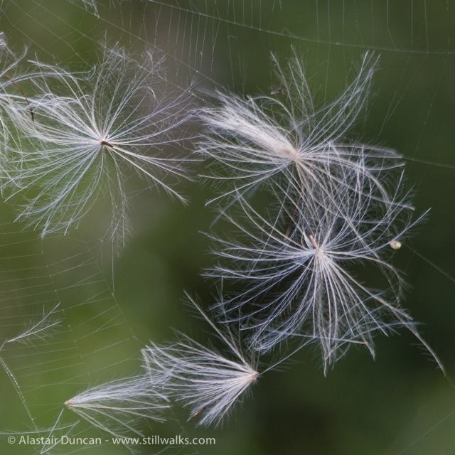 thistle seeds
