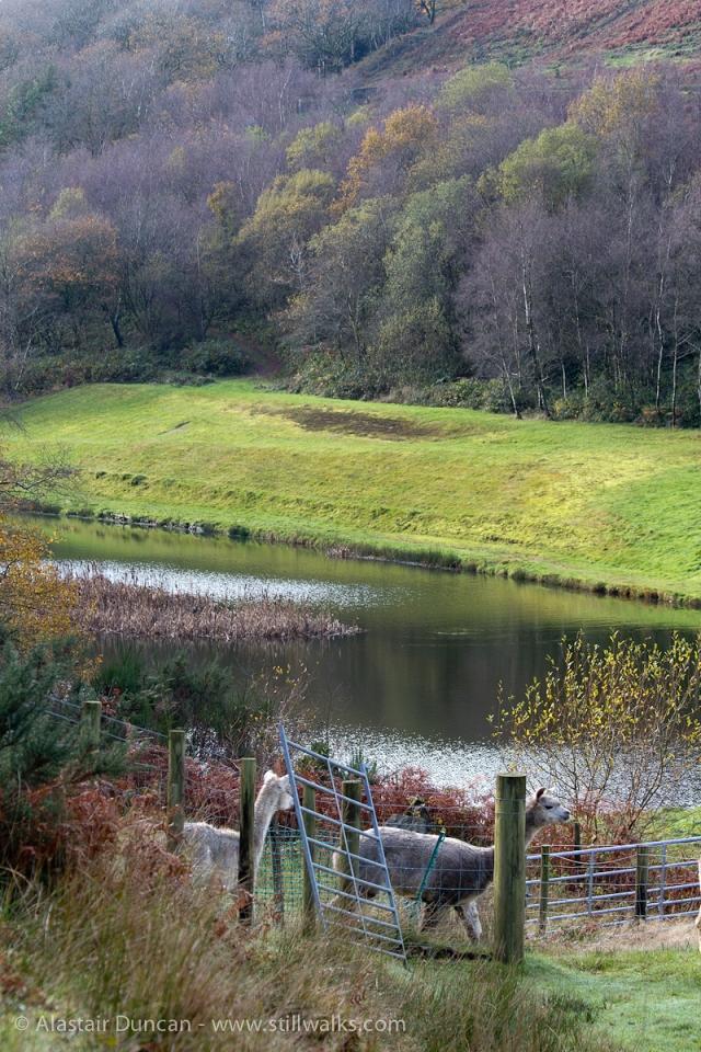 Welsh Valleys Alpaca Farm