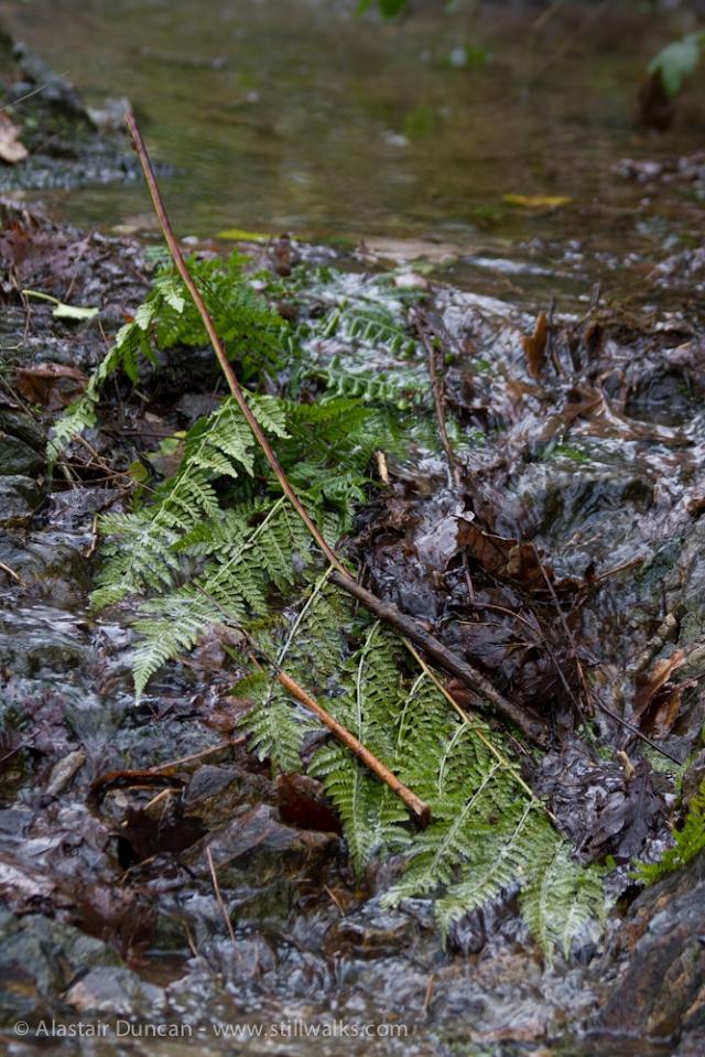 fallen fern