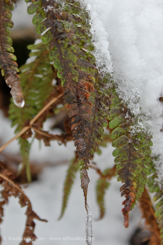 ferns and snow