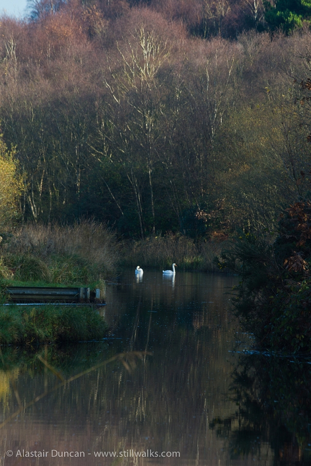 Swans on canal