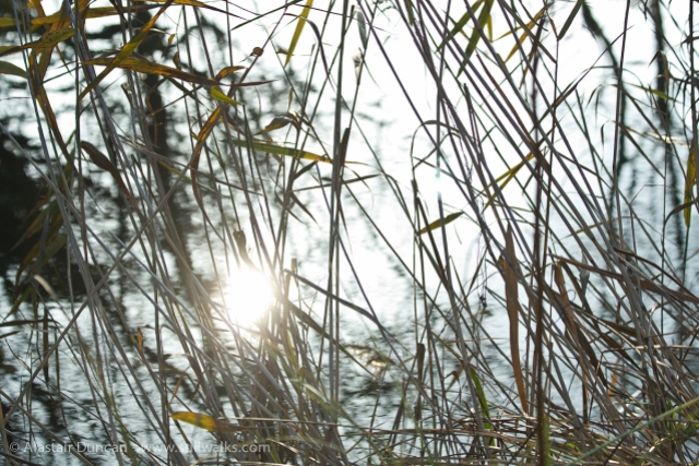 sunlight and reeds