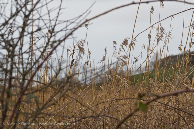 brambles and reeds
