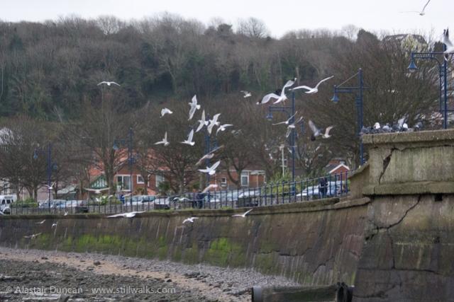 Mumbles seagulls