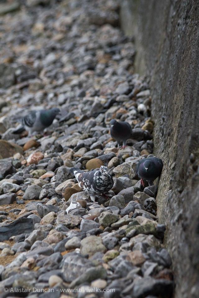 stones and pigeons