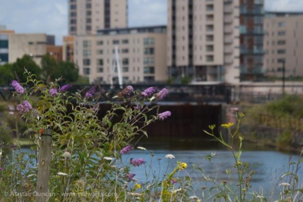 Buddleia, urban wildflower