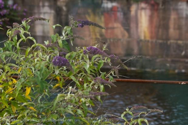 Buddleia, dockland wildflower