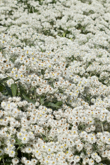 white flowers at NBGW