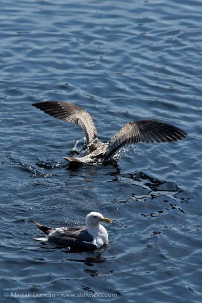seagull washing in water