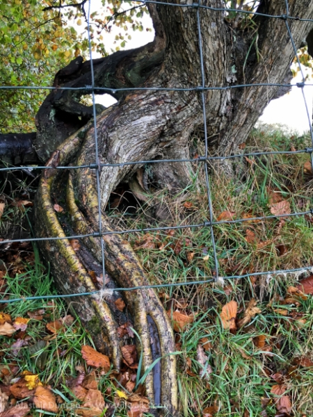 twisted tree root